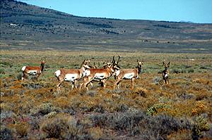 Pronghorn Antelop